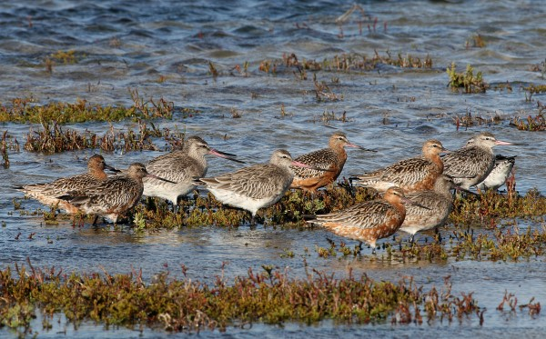 CLOSE UP OF BAR-TAILED GODWITS
