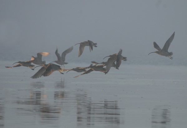 EASTERN CURLEWS THROUGH THE MIST
