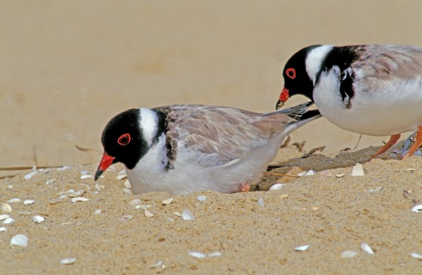 HOODED PLOVERS AT THE NEST