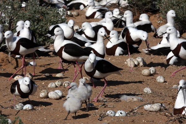 IN THE BREEDING COLONY OF BANDED STILTS
