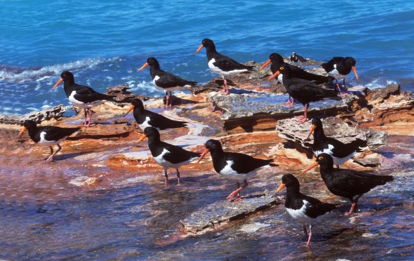 PIED AND SOOTY OYSTERCATCHERS AT HIGH TIDE