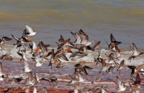 MIXED FLOCK OF WADERS TAKING OFF. BROOME, WA
