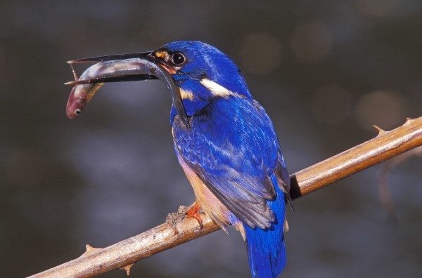 AZURE KINGFISHER WITH FISH
