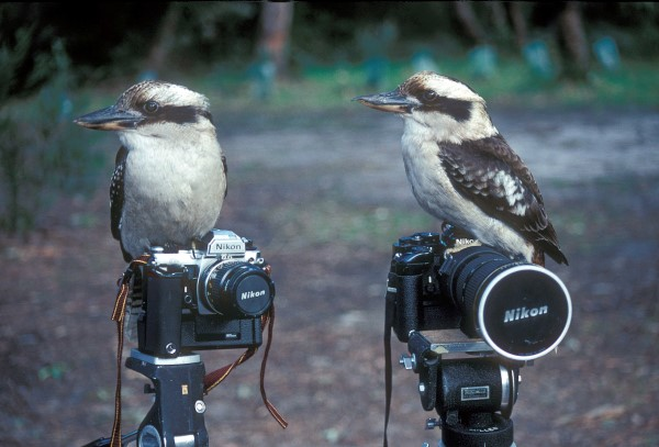 KOOKABURRAS AND CAMERAS