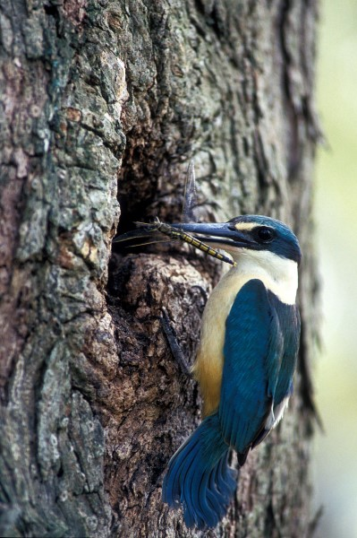SACRED KINGFISHER AT TREE HOLLOW