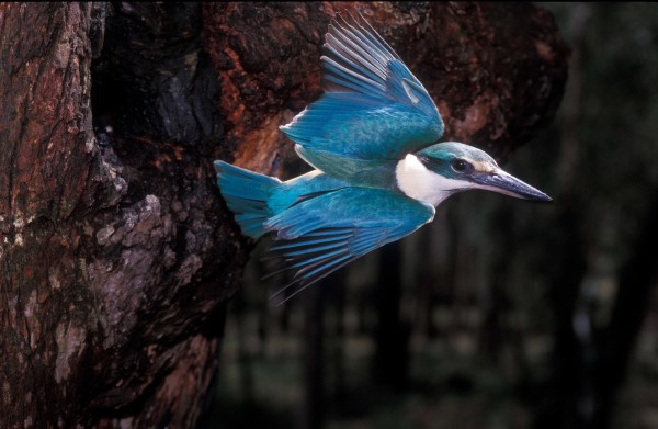 SACRED KINGFISHER LEAVING TREE HOLLOW