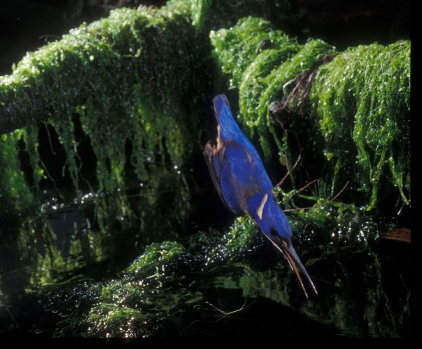 FISHING SEQUENCE. AZURE KINGFISHER