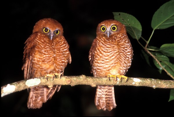 PAIR OF CHRISTMAS ISLAND HAWK OWLS