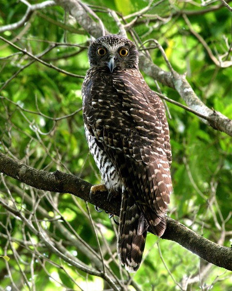 FEMALE POWERFUL OWL