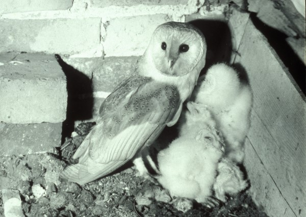 BARN OWL NESTING IN ENGLISH BARN. 1961