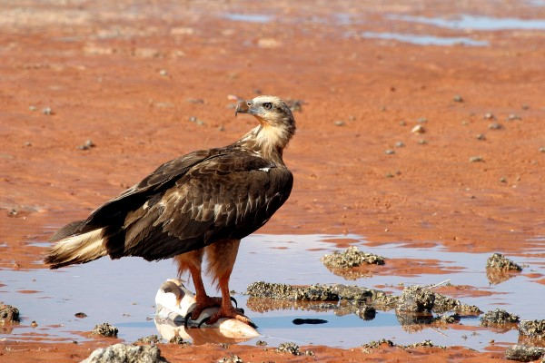 YOUNG SEA-EAGLE FEEDING ON SHARK