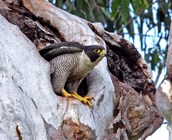 PEREGRINE FALCON AT NEST HOLLOW