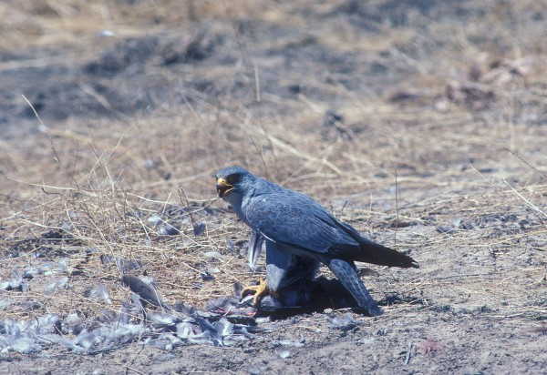 GREY FALCON WITH PREY