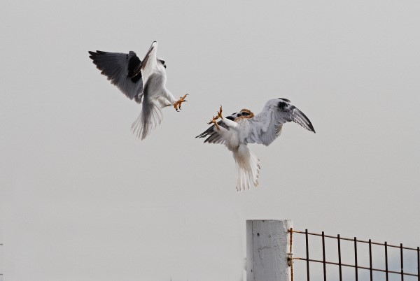 BLACK-SHOULDERED KITE TEACHING JUVENILE TO HUNT
