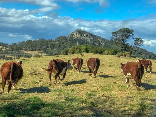 Cows and Najanuga