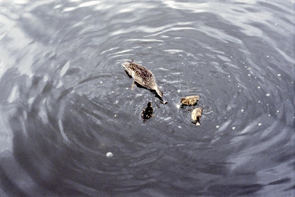 Ducks in the Lagoon, 2014