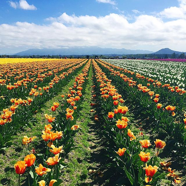 bloom after bloom in Washington State's #skagitvalley 😍