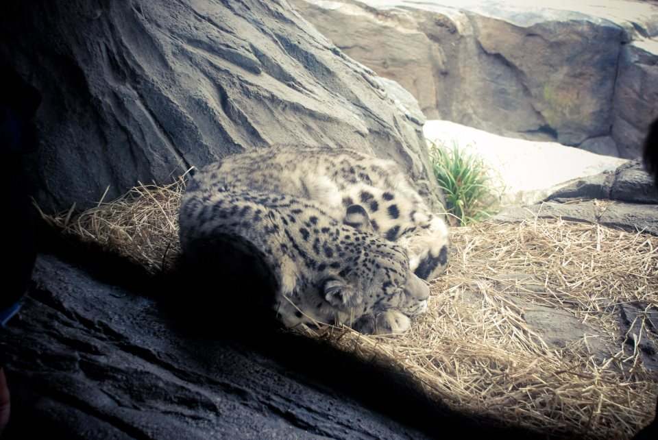 A snow leopard - so gorgeous.