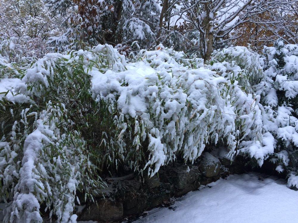 Snow on bamboo.JPG