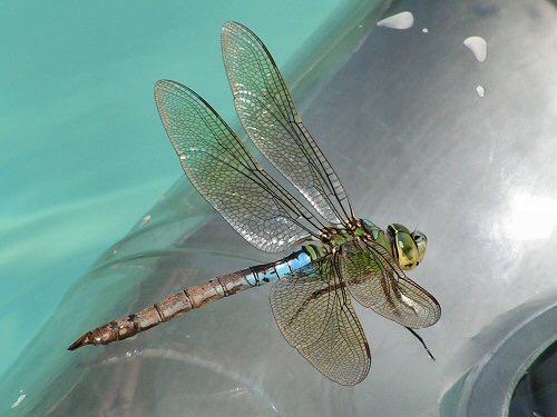 dragonfly-emperor.jpg