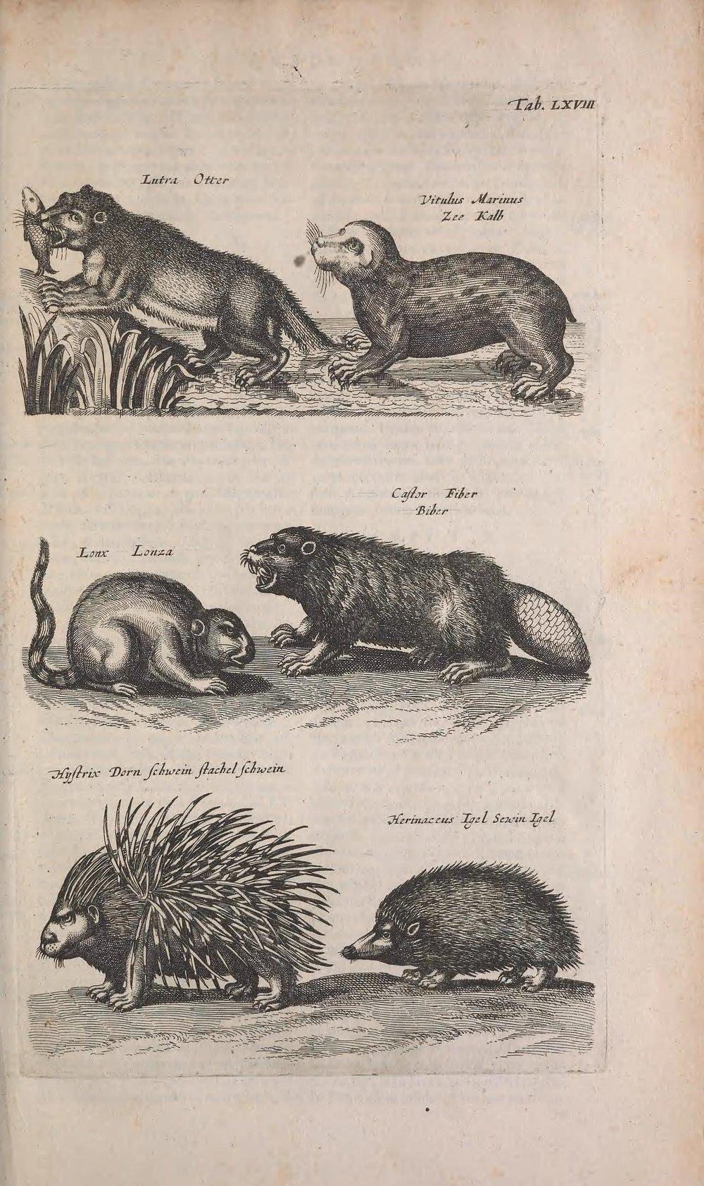Jan Jonston (1603-1675),  Historiae naturalis de quadrupedibus libri, cum aeneis figuri s, Johannes Jonstonus, medicinae doctor, concinnavit Amsterdam, Schipper, 1657, tav. LXVIII