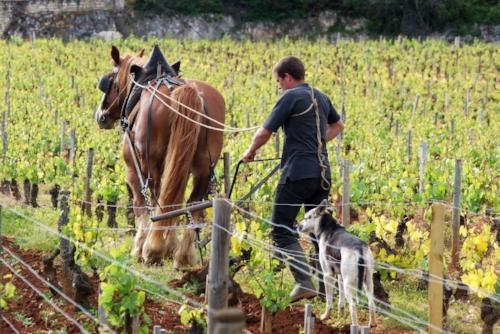 labour-cheval-vigne-montrachet-10.jpg