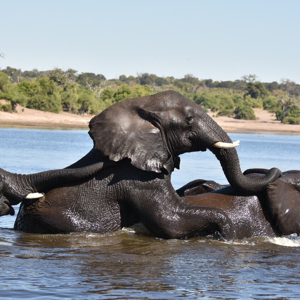 Who knew elephants could swim so well?