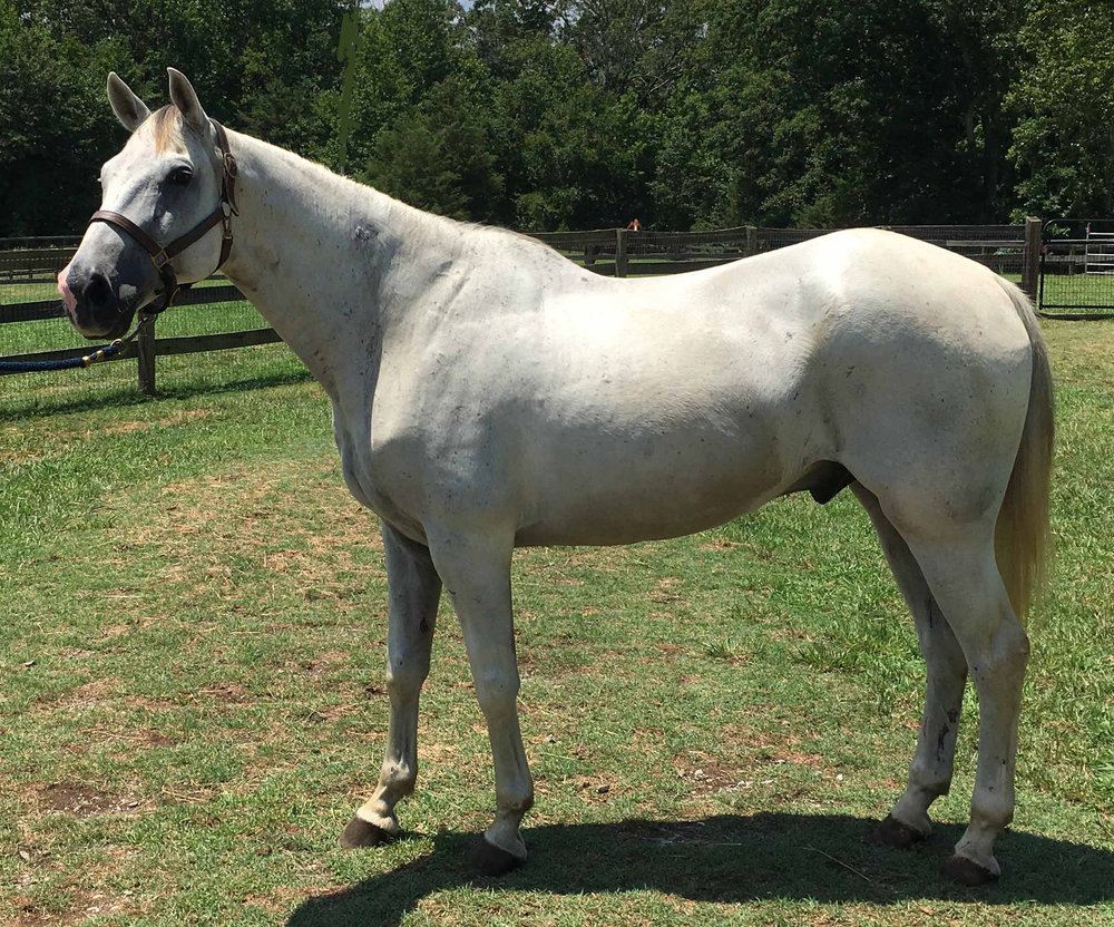 Handsome  Argento  was rescued from the slaughter pipeline last summer. He is 12 years old, 15.1 hands and stunning. He is arthritic behind so his best role going forward is as a pasture companion and adored pet. He goes barefoot just fine and needs a calm and loving environment to build his trust. He is an easy keep and fine with other horses. Please let us know if you are interested in giving him a soft-landing and good home to live out his life.  We are willing to waive his adoption fee in hopes of finding him a loving place to call home.