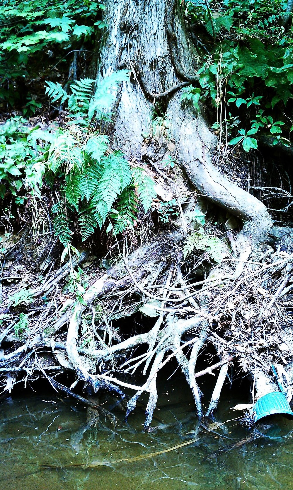 Creek Tree 1.JPG