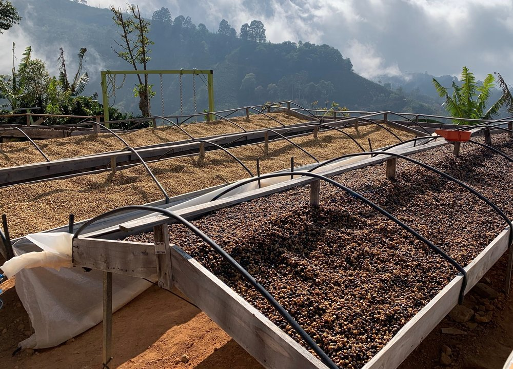 Honeyed coffees on raised drying beds, Finca La Pastora