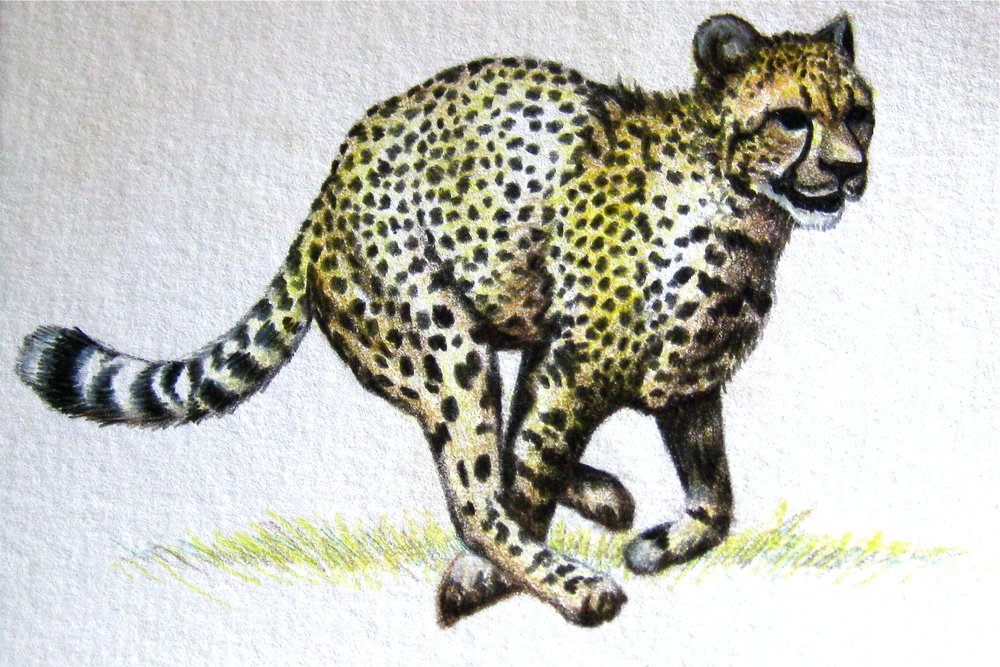 Cheetah   | Colored Pencil Study