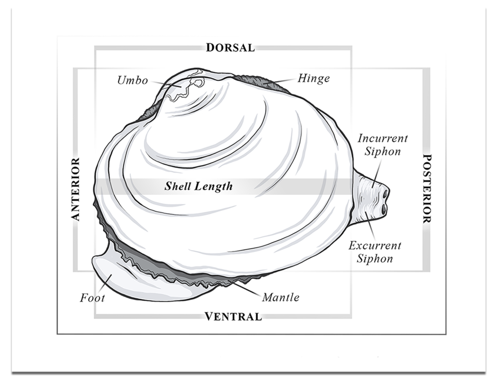 Bivalve-Anatomy-Diagram-Lateral-View.png