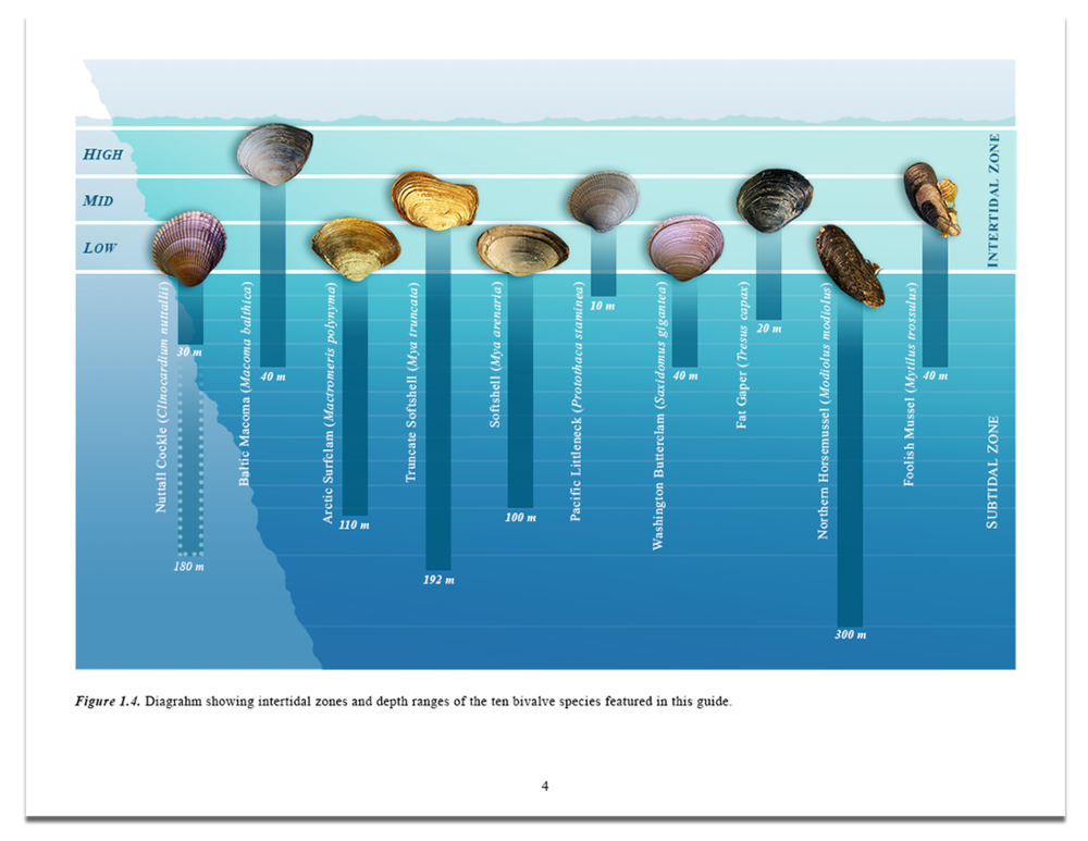 Bivalve-Tide-Level-Diagram.png