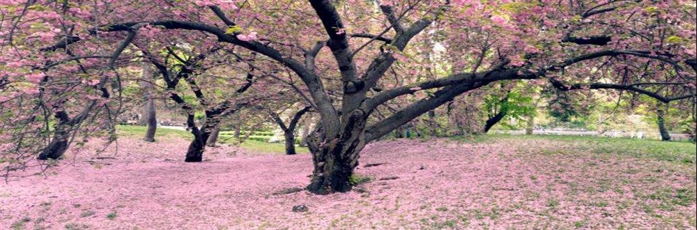 15 - Susan G. & Me (CherryBlossoms).jpg