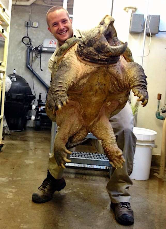 Getting a weight on ol' Otis--a 120 lb alligator snapping turtle (2012)