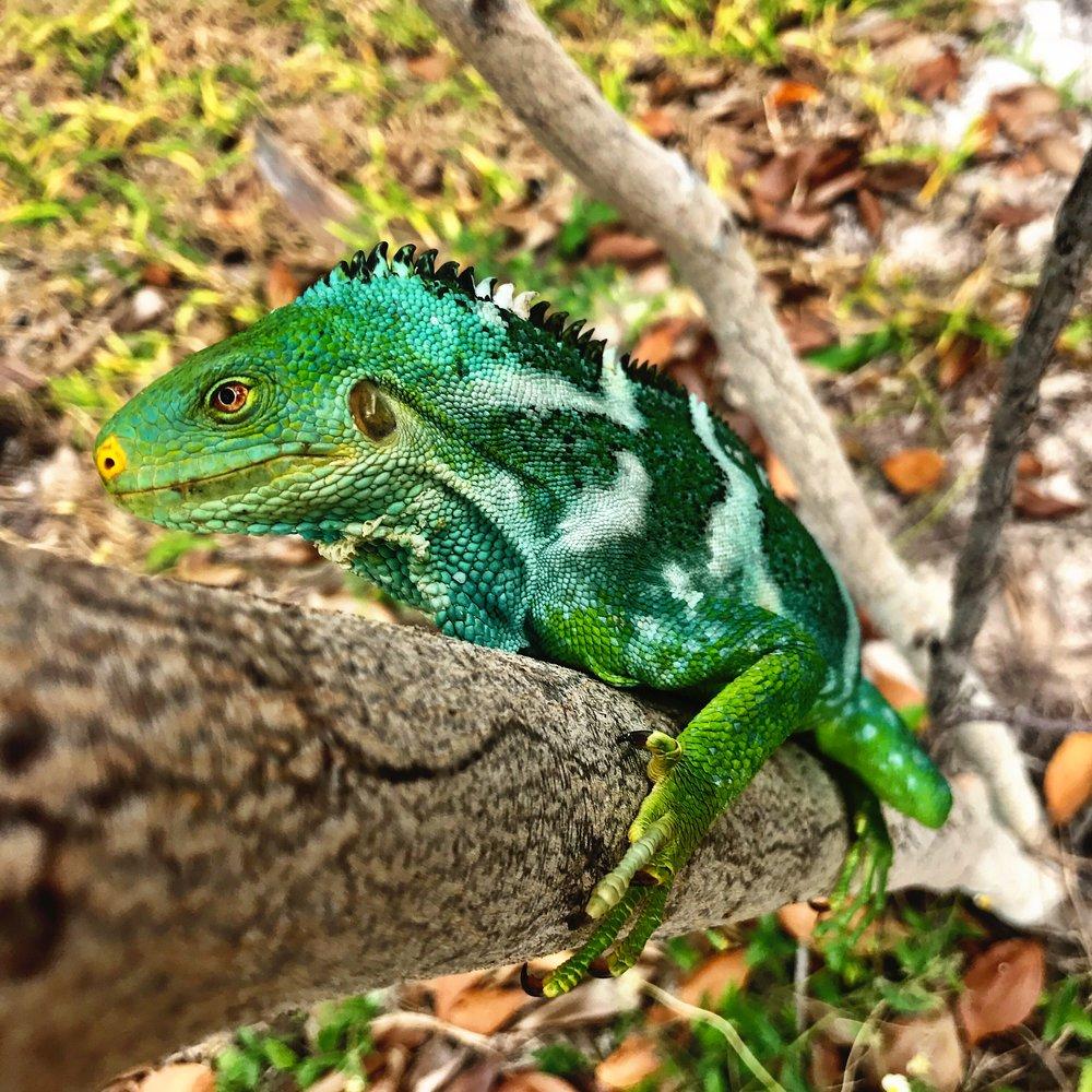 iguana_tree.jpg