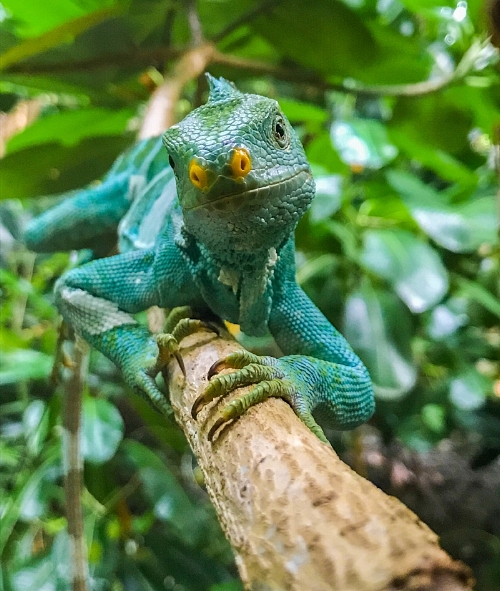 iguana_branch_natgeo.jpg
