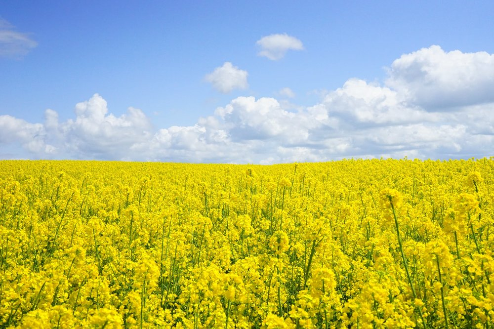 field-of-rapeseeds-oilseed-rape-blutenmeer-yellow-46164.jpeg