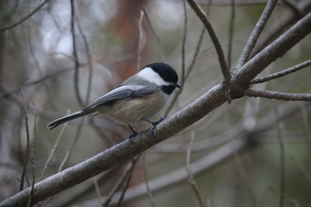 Perching Chickadee
