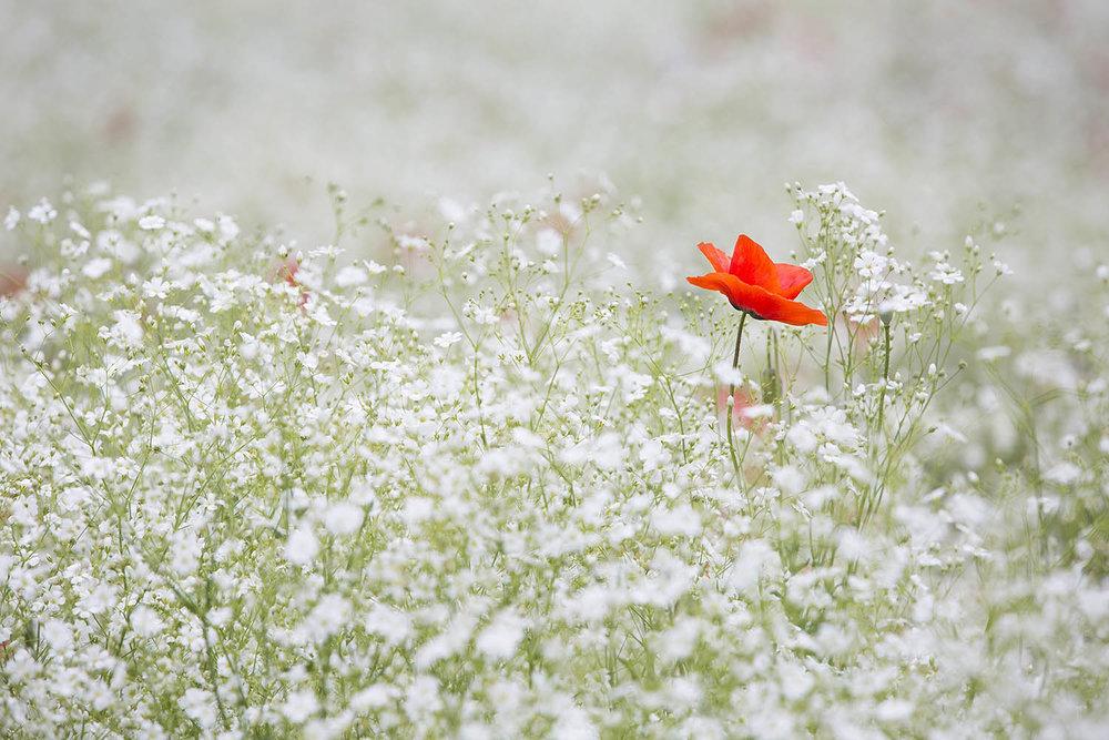poppy-1128683.jpg