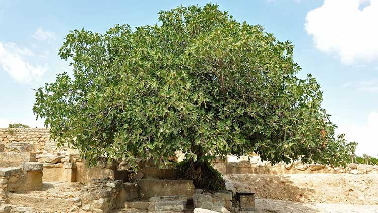 cursed-fig-tree.jpg