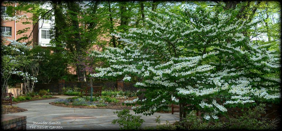 Doublefile viburnum in full bloom at the entrance of the courtyard garden.