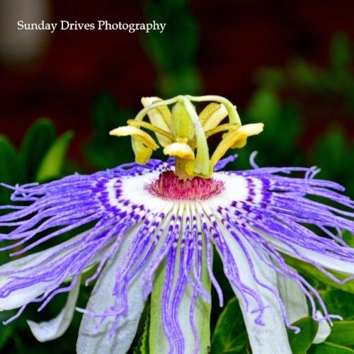 Passion flower2Smaller.jpg