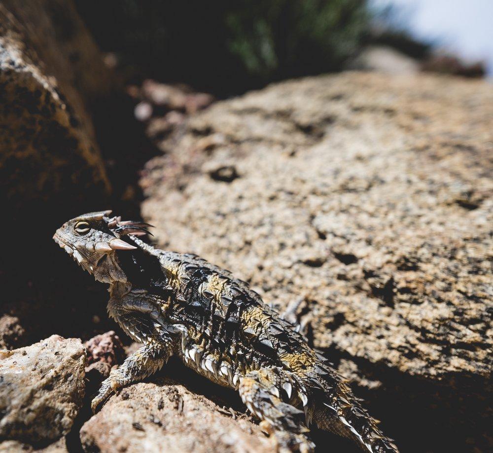 Diva lizard