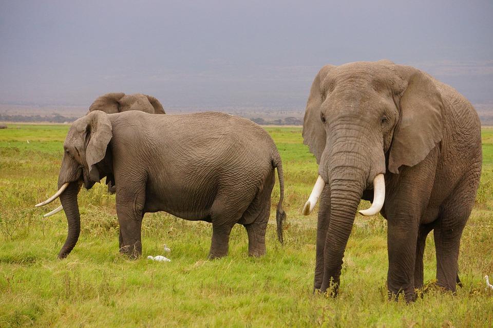 wild-elephants-1724223_960_720.jpg