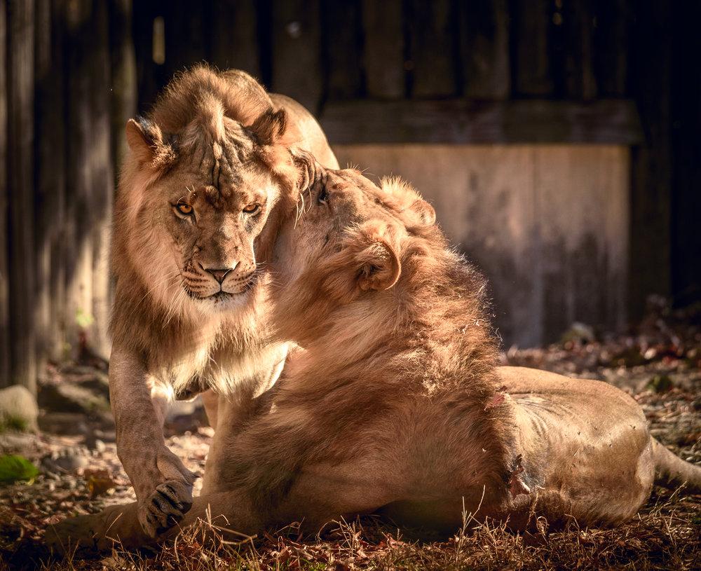 lions_BX_Zoo.jpg