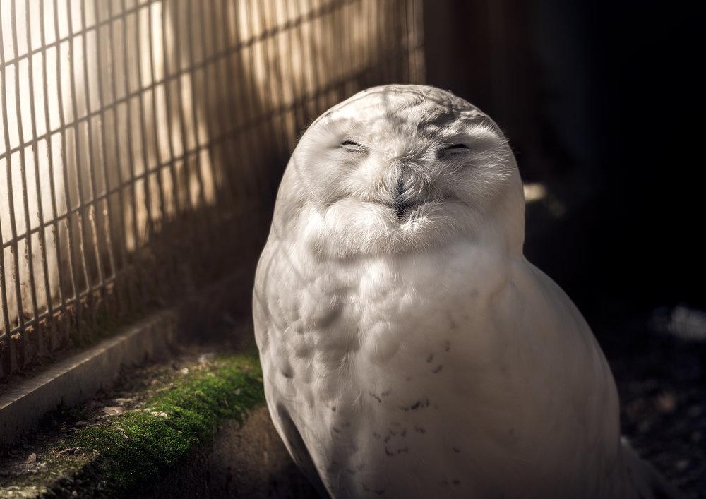 snowy_owl_bx_zoo.jpg