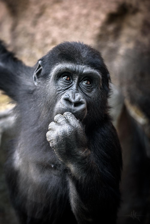 baby_gorilla copy.jpg