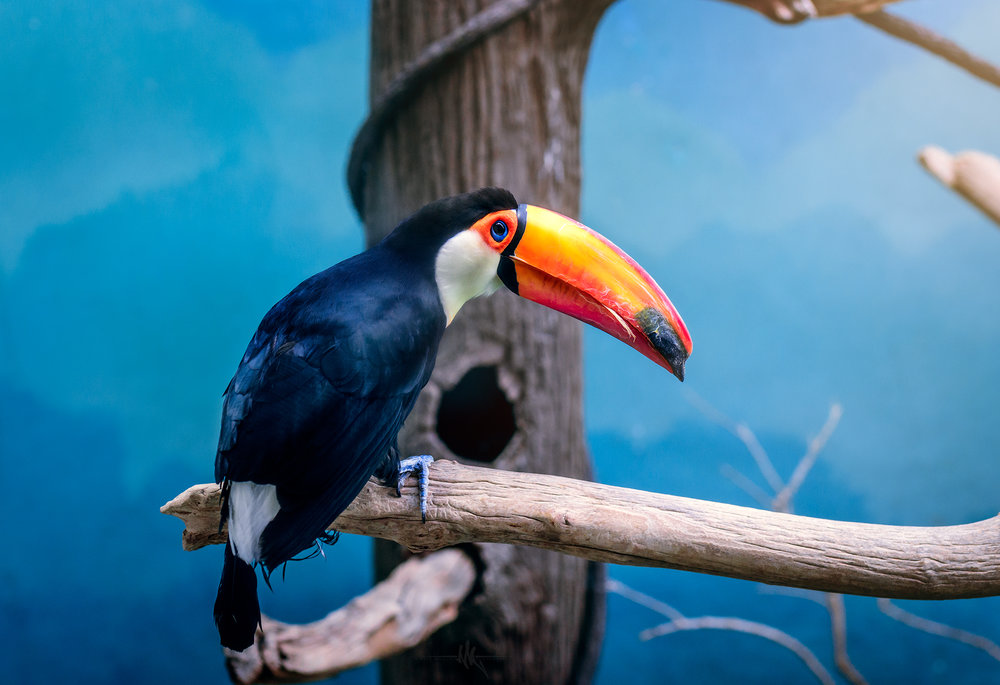 toucan copy.jpg
