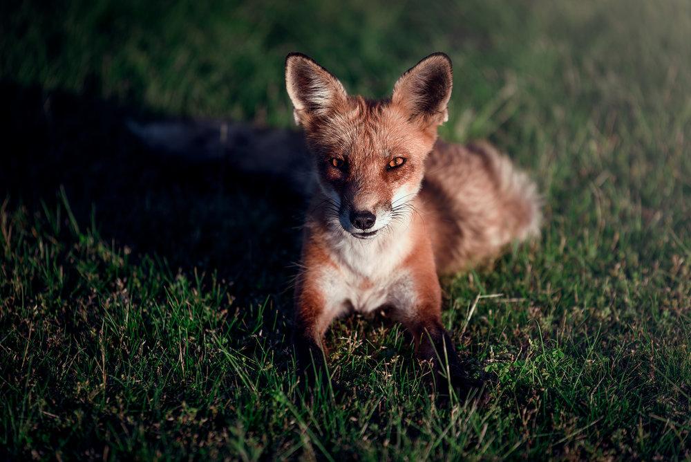 fox_laying_down.jpg